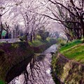 引地川にも反射して千本桜。。。3月31日