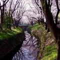 静寂な引地川のカーブの流れに反射して綺麗に映る桜並木。。3月31日