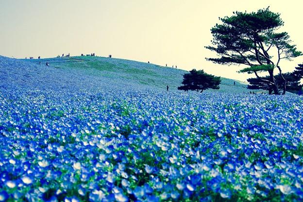 丘一面に咲いてネモフィラ。。ひたち海浜公園 4月25日