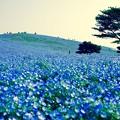 Photos: 丘一面に咲いてネモフィラ。。ひたち海浜公園 4月25日