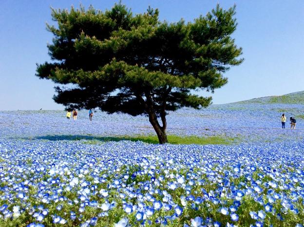木の周りは青いネモフィラ。。ひたち海浜公園 4月25日