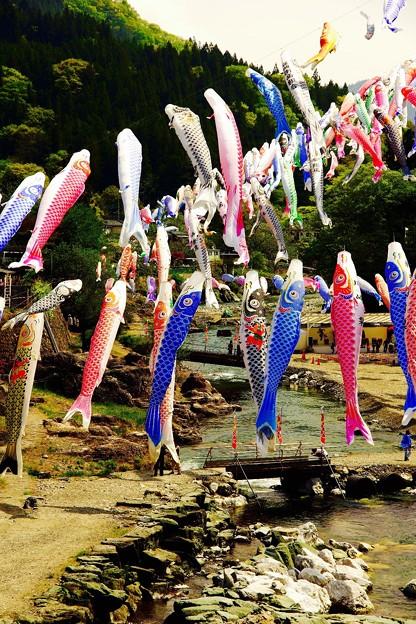 神流川の上で泳ぐ。。鯉のぼり 神流町 4月29日