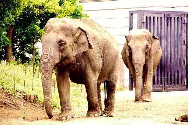 朝から活発に動き回るインド象さんたち。。笑(^^) 20150525