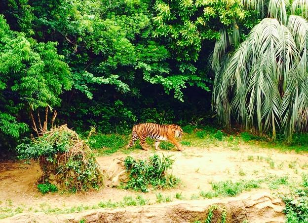 まるでジャングルから出てきたトラ。。20150525