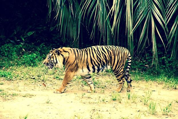 凛々しいスマトラトラ。。よこはま動物園ズーラシア 20150525