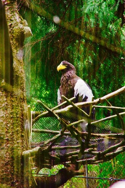 メスより小さいイーグル雄。。よこはま動物園ズーラシア 5月25