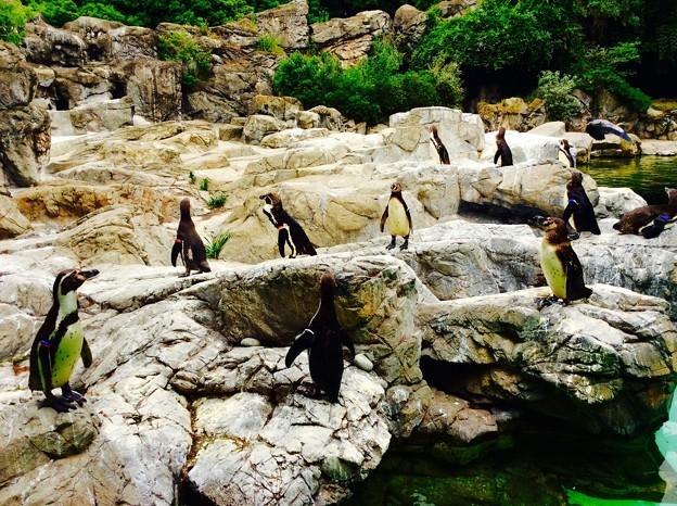 じっとしているフンボルトペンギンたち・・よこはま動物園ズーラシア 5月25日