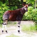 写真: 珍獣さんのオカピー。。よこはま動物園ズーラシア5月25日