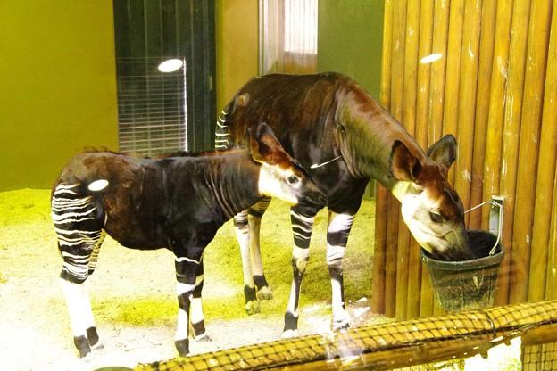 オカピーの子ども。。母親にくっついて。。笑(^^)よこはま動物園ズーラシア5月25日生まれて