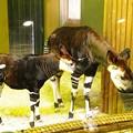 写真: オカピーの子ども。。母親にくっついて。。笑(^^)よこはま動物園ズーラシア5月25日生まれて