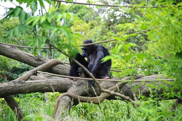 自然な作りの園内にチンパンジーの親子。。よこはま動物園ズーラシア5月25日