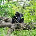 写真: 自然な作りの園内にチンパンジーの親子。。よこはま動物園ズーラシア5月25日