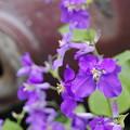Photos: 150407オオアラセイトウ大紫羅欄花