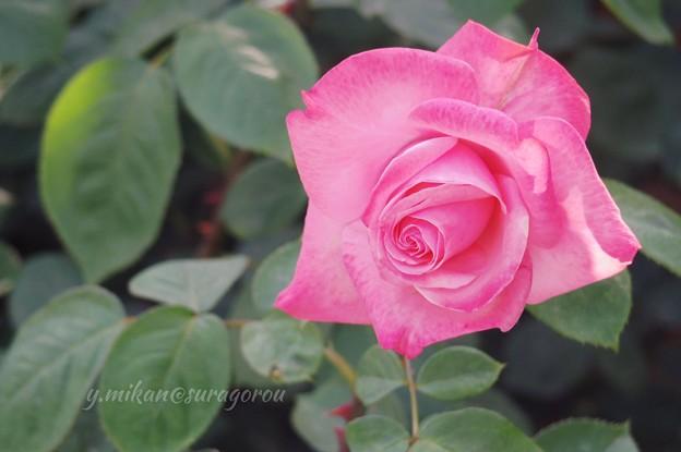 薔薇(ピンク)
