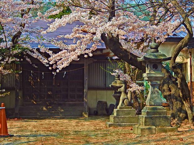 『蔵出しHDR』 お稲荷さんと桜