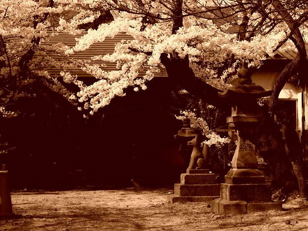 『蔵出しセピア』 お稲荷さんと桜