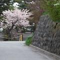 Photos: 石垣と桜