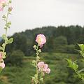 Photos: 立ち葵の花も咲いてました