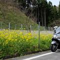 菜の花でいっぱいの弦谷のカタクリ群落