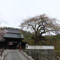 光福寺の糸桜