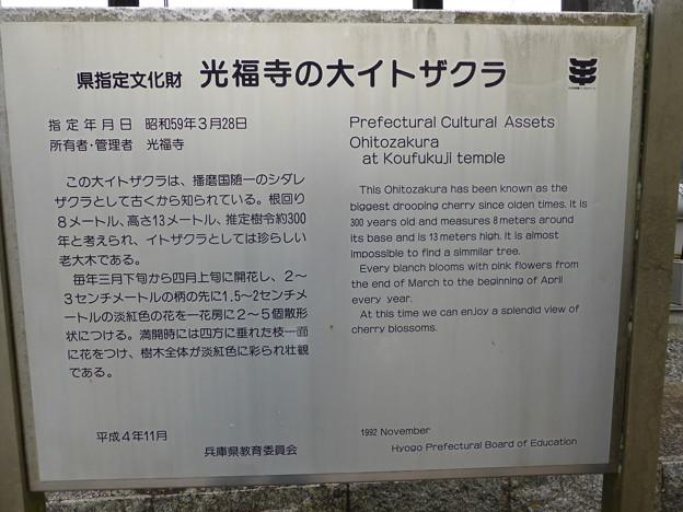 Photos: 光福寺の大イトザクラ案内板
