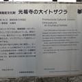 光福寺の大イトザクラ案内板