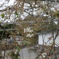 光福寺ののこり桜