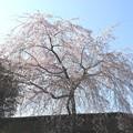 2015・京都・法然院近くの桜