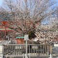 2015・平安神宮*左近の桜