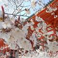 2015・平安神宮*左近の桜2