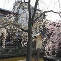 京都・祇園白川の桜3