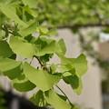 Photos: 新緑の銀杏