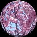 Photos: 桜色の惑星