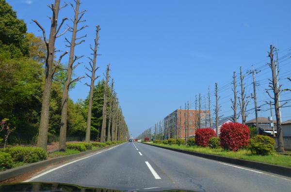 揃った高さに剪定された裸んぼの並木たち