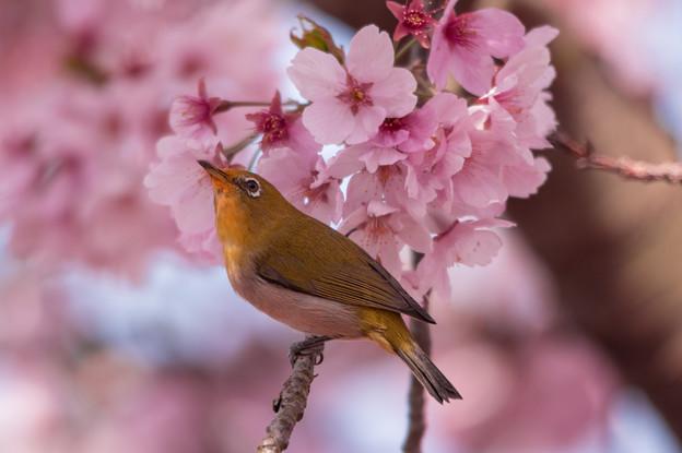 陽光桜とメジロ♪