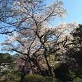 写真: 新宿御苑 桜 2015/4/2