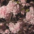 八重桜・大手鞠