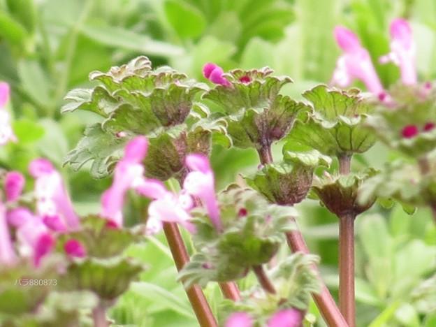 ホトケノザの葉と花