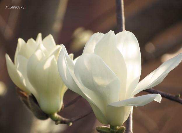 並んだ並んだハクモクレンの花