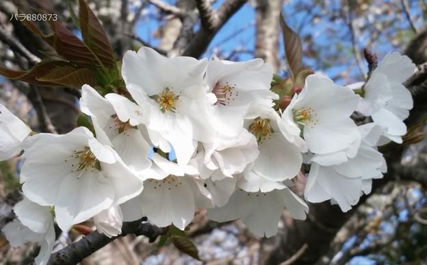 桜の花のティアラ♪