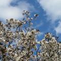 写真: 桜の木と雲のある空!