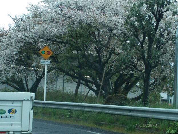 桜の木の枝ぶり♪