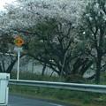 写真: 桜の木の枝ぶり♪