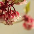 Photos: 春を告げる鐘  ~Pink chandelier~