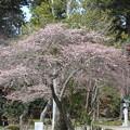 27.3.21志波彦神社鳥居前の四季桜