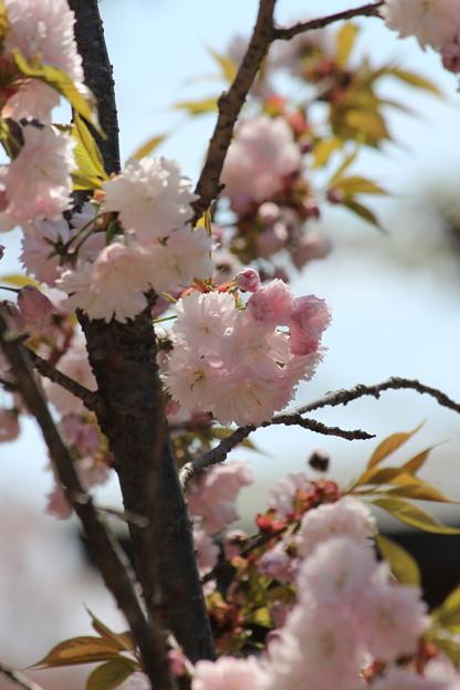 27.4.22鹽竈神社の鹽竈ザクラ