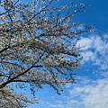 我が里の桜も見ごろを迎えました!