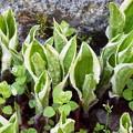 緑三昧・ギボウシ芽吹き