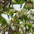 白の饗宴~ドウダンツツジとスジクロシロチョウ